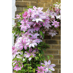 BCM Beetpflanze Clematis Nelly Moser, 2 Pflanzen