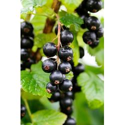 BCM Obstpflanze Säulenobst Schwarze Johannisbeere Ben Tirran, Höhe: 50 cm, 1 Pflanze