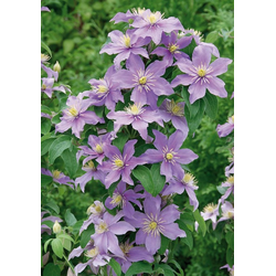 BCM Beetpflanze Clematis
