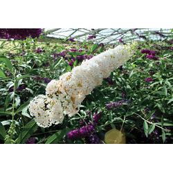 BCM Staude Sommerflieder White Bouquet, 3 Pflanzen