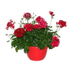 Ampelpflanze - Tchibo - Rot