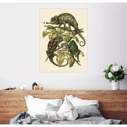 Posterlounge Wandbild, Chamaeleonidae (Chamäleons) 60 cm x 80 cm