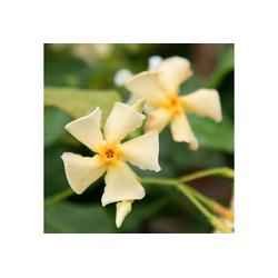 BCM Kletterpflanze Trachelospermum 'Chili & Vanilla' ®, Lieferhöhe ca. 60 cm, 1 Pflanze