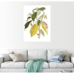 Posterlounge Wandbild, Kakao (Theobroma cacao) 60 cm x 80 cm