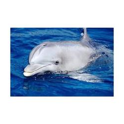 Schreibunterlage Mini-Poster Pad 50x34cm Delfin
