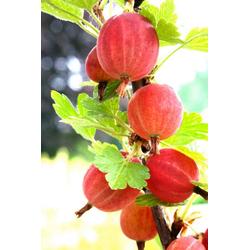 BCM Obstpflanze Stachelbeere Larell, Höhe: 30-40 cm, 2 Pflanzen