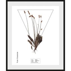 queence Bild Plantaginaceae, (1 Stück) 40 cm x 50 cm
