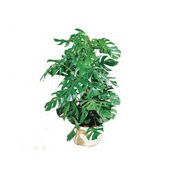 BCM Zimmerpflanze Fensterblatt