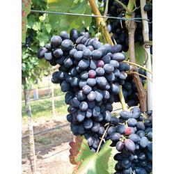 BCM Obstpflanze Traube Grosso Kodrinaka