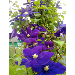 BCM Kletterpflanze Waldrebe viticella 'Viola' Spar-Set, Lieferhöhe ca. 60 cm, 3 Pflanzen