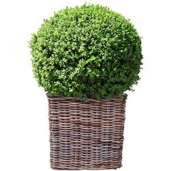 BCM Gehölze Buchsbaum Kugel, Höhe: 25 cm, 1 Pflanze