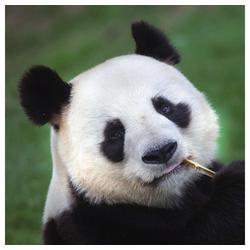 Linoows Papierserviette 20 Servietten, Panda Bär, Panda Portrait mit Bambu, Motiv Panda Bär, Panda Portrait mit Bambus Halm