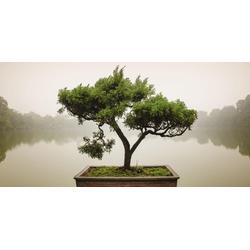 Home affaire Glasbild Panom: Chinesischer Bonsaibaum, 100/50 cm
